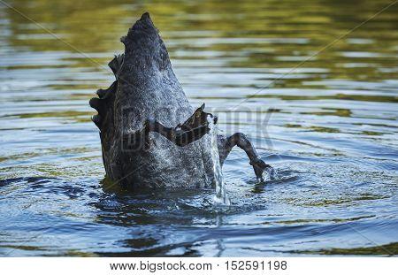 Black Swan Diving Upside Down