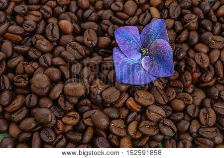 Coffee beans with purple flower. Grains coffee