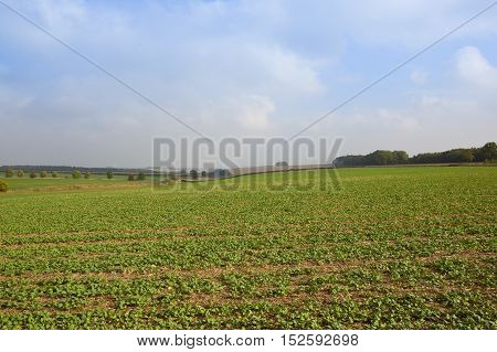 Oilseed And Trees