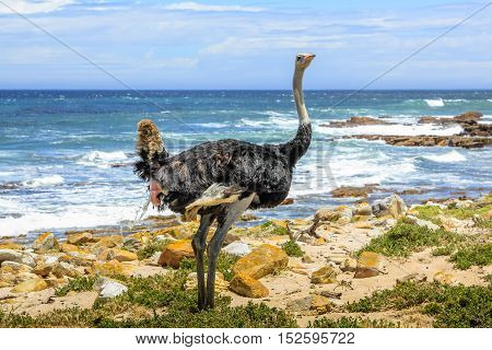 Front view of Ostrich walking in wild coast at the Cape of Good Hope in Table Mountain National Park, South Africa. Blurred background