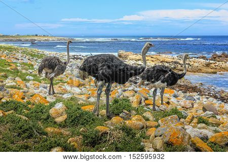 Three common ostriches on pebble beach in Cape of Good Hope Nature Reserve, Cape Peninsula National Park, South Africa. The Cape of Good Hope section of Table Mountain National Park
