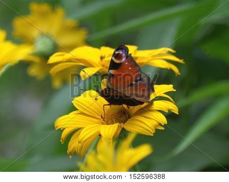 One dark orange color butterfly on a yellow blooming flower
