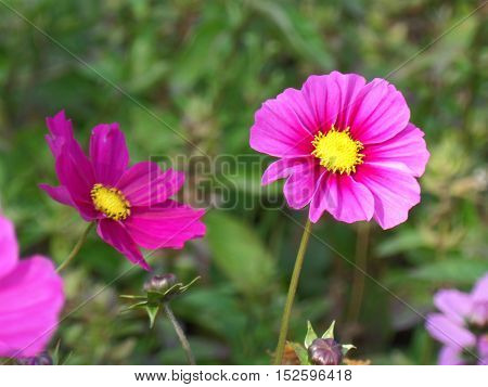 Two blooming vivid pink Mexican Aster flowers on the green grasses