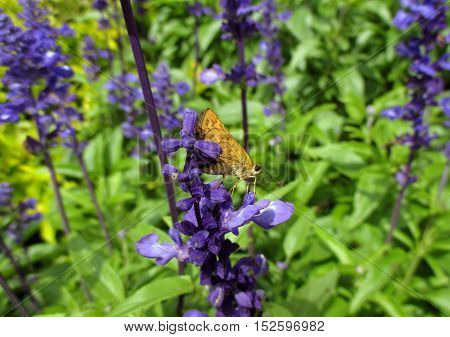 Closed up an orange color butterfly on purple petal of Lavender in green field