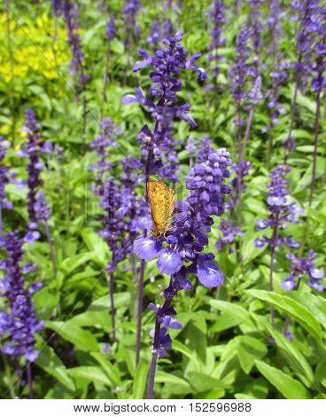 One orange color butterfly on vivid purple Lavender in bright green field