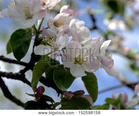 Spring is a beautiful garden blooming apple tree with beautiful pink flowers against the blue sky