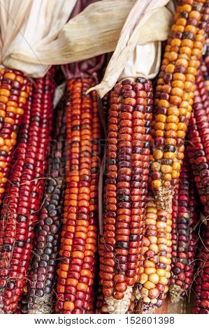 Colored field corn most common during the holidays.