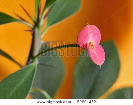 Euphorbia milii (crown of thorns, Christ plant, Christ thorn) is a species of flowering plant in the spurge family Euphorbiaciae, native Madagascar. macro