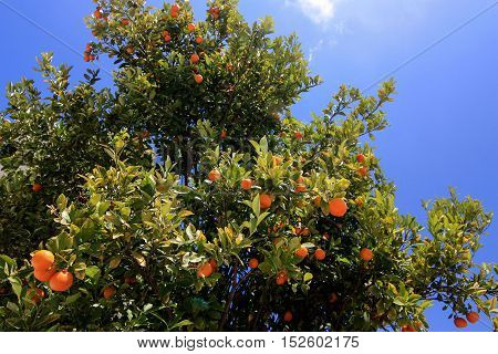 A tree spangled with tangerines and with blue sky on the background.
