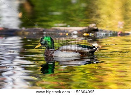Mallard duck male  is a species of perching duck found in North America. It is one of the most colorful North American waterfowl. Swimming in a lake ablaze with the colors of fall.