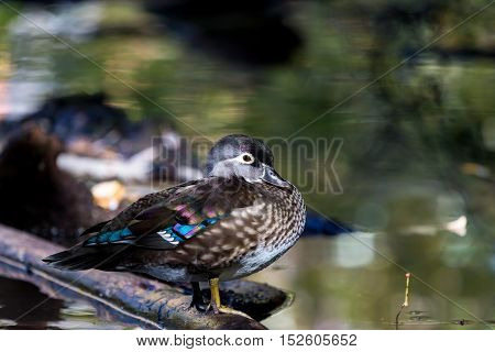 Wood duck female or Carolina duck is a species of perching duck found in North America. It is one of the most colorful North American waterfowl. Swimming in a lake ablaze with the colors of fall.