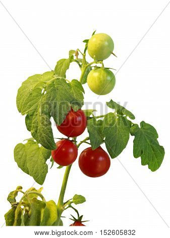 Ripe cherie tomatoes on branch isolated on white background taken closeup.