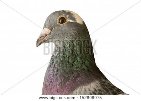 close up head shot of beautiful speed racing pigeon bird isolate white background