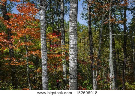 Aspen tree trunks and autumn forest with colorful fall foliage. Algonquin Provincial Park, Canada.