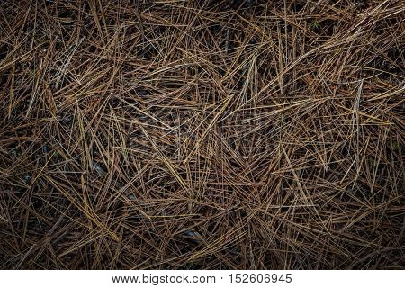 Closeup on fallen brown pine needles on forest floor, view from above.