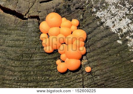 Likogala wood inedible mushrooms growing on a stump.