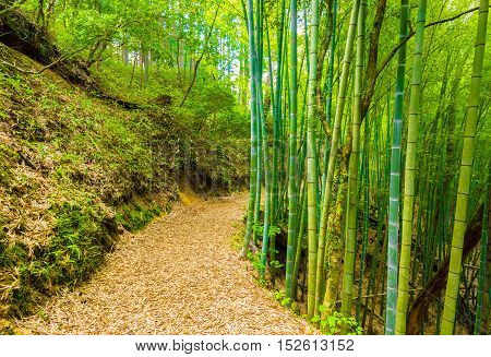 Winding Bamboo Forest Trail Tsumago Castle H
