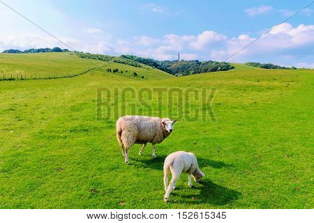 Large sheep with little lamb in the British countryside