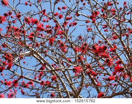 The Coral Tree blossom in Wolfson Park of Ramat Gan Israel March 3 2011