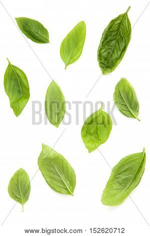Fresh Sweet Basil Leaves Isolated On White Background. Sweet Basil Leaves With Top View ..