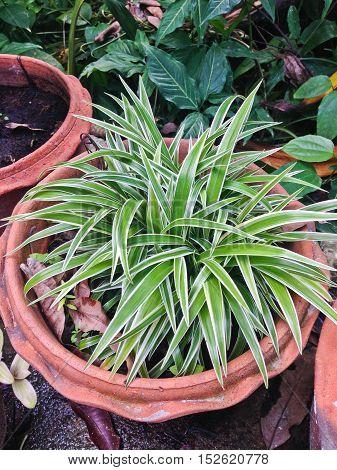 Spider Plant with Green & white slender leaf