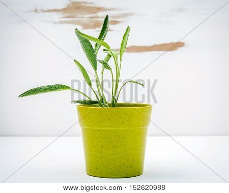Fresh Sage Potted On White Shabby Wooden Background. Sage Planted In Pots With Copy Space.