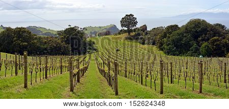 Vineyard panoramic view at Stony Batter on Waiheke Island Auckland New Zealand