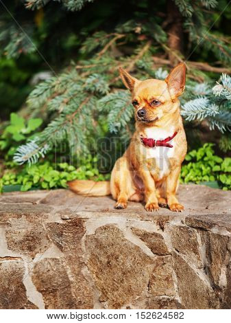 Red chihuahua dog sits on a granite pedestal. Selective focus.