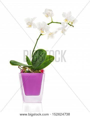 Miniature white orchid arrangement centerpiece in vase isolated on white background.