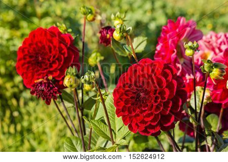 closeup of red dahlia flowers in bloom
