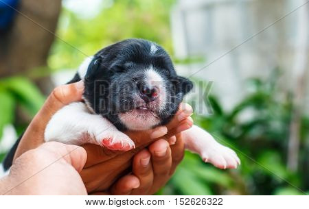 Adorable Newborn Puppy Sleeping The fur is black and white