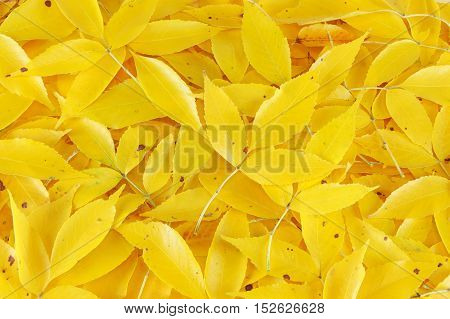 close up on yellow fallen leaves background