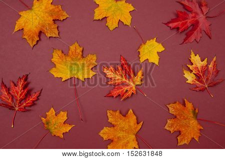 Pattern of autumn colorful fallen maple leaves on claret background