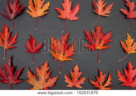 Autumn colorful fallen maple leaves in rows on dark grey background