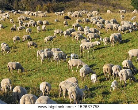 Flock With Sheep Grazing