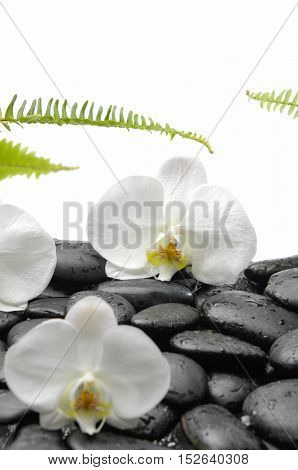 White orchid blossom with black stones ,ferm on wet background