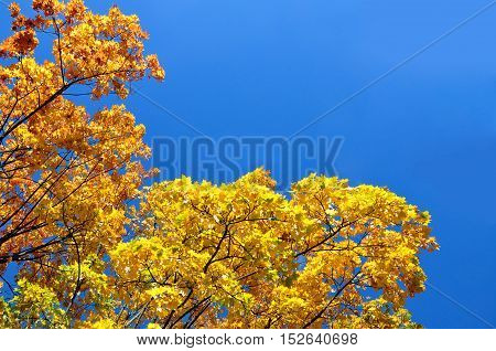 Autumn background. Looking up at the bright yellow maple trees against a blue sky.