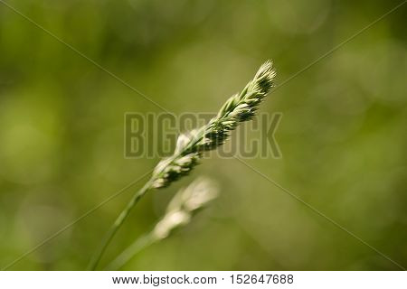 Macro Photo Of Grass Weed On The Green