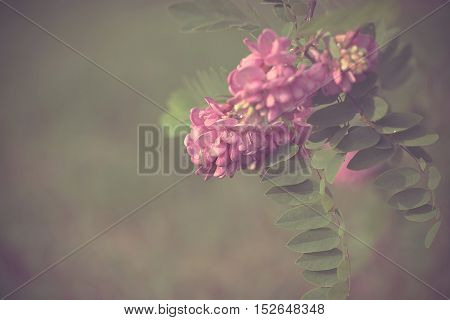 Vintage photo of acacia flowers detail .