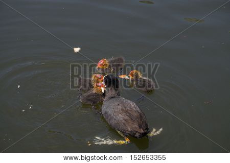 Close up of a coot family at the lake. Coots