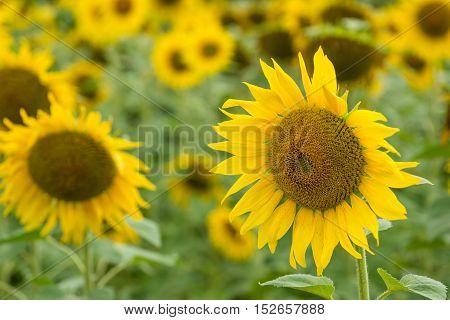 Field Of Sunflowers (close-up Shot)