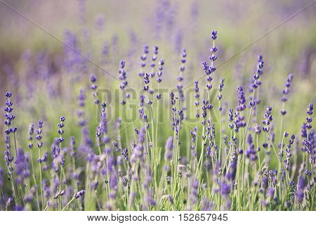 Lavender lilac flowers - nature floral background