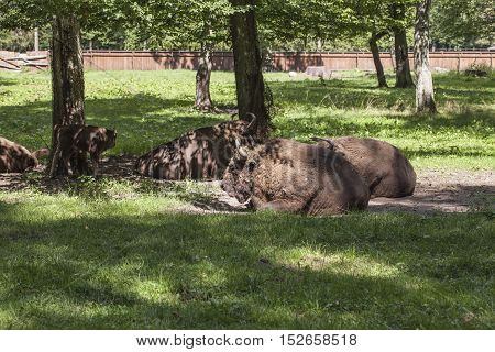 Bison Lying In The Yard, Bialowieza National Park