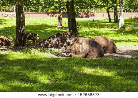 Bison Are In The Bialowieza National Park