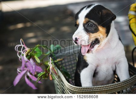 seated beagle puppy dog plays on basket in front bicycle