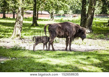 Small Bison Eats Food From The Mother In The Bialowieza National Park