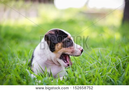cute Beagle puppy happy over the meadow and sunshine