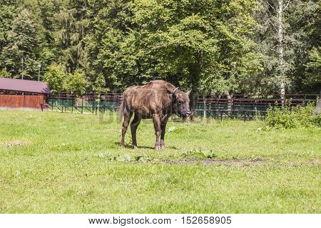 Bison Basking In The Sun In The Bialowieza National Park