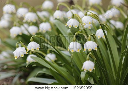 White spring snowdrops in the green field