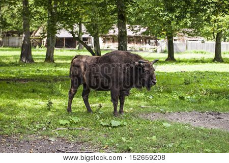 Bison Poses For A Photograph In The Bialowieza National Park